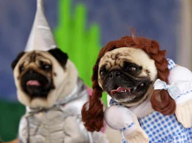 180062-two-pug-dogs-dressed-up-as-dorothy-and-the-tin-man-from-the-movie-wiza