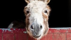 Do_Donkeys_act_1